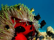 Free Anemone Coral With Anemone Stock Photos - 19487823