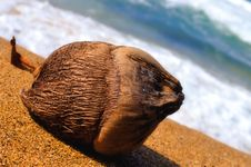 Free Close-up View Of A Coconut On A Tropical Beach Royalty Free Stock Photography - 19489647