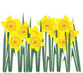 Free Daffodils Stock Photography - 19494392
