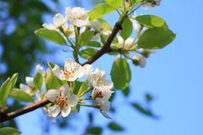 Free Blooming Flowers Of Pear Tree Stock Image - 19490171