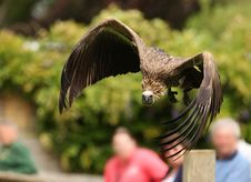 Free Griffon Vulture Stock Images - 19490284