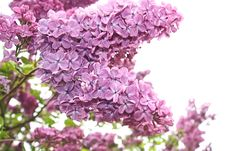 Lilac Flowers Close Up Stock Photos