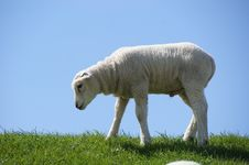 Lamb In The Netherlands Royalty Free Stock Photography