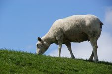 Free Sheep In The Netherlands Royalty Free Stock Photos - 19491158