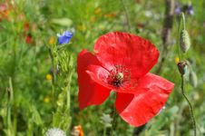 Free Red Poppy Royalty Free Stock Image - 19491176