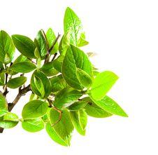 Free Green Leaf Stock Photos - 19491223