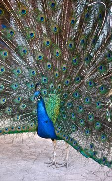 Free Peacock Spreading Its Tail Feathers Stock Images - 19491684