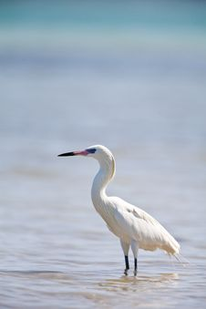 Free Great Egret Royalty Free Stock Photo - 19491775