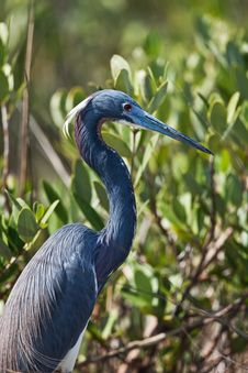 Free Tri-Colored Heron Stock Photography - 19491892