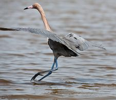 Free Tri-Colored Heron Royalty Free Stock Photography - 19491947
