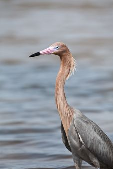 Free Tri-Colored Heron Stock Images - 19491954