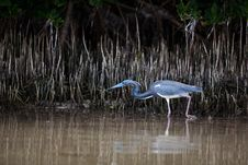 Free Tri-Colored Heron Stock Images - 19491964
