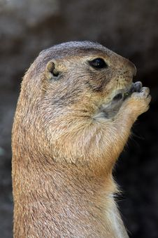 Free Prairie Dog Royalty Free Stock Images - 19492759