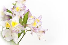 Free Bouquet Of Lilies Background Stock Photo - 19493110