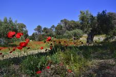 Free Poppies In Olive Grove Royalty Free Stock Image - 19493116