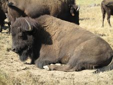 Free Resting Bison Royalty Free Stock Photography - 19493267