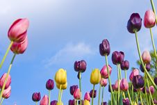 Free Colorful Tulips Royalty Free Stock Images - 19494229