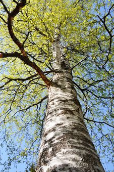 Free Birch Canopy Stock Photography - 19495382