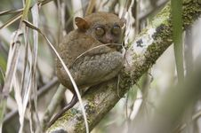 Free Tarsier In Its Natural Environnement Royalty Free Stock Images - 19495399