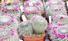 Free Cactus Plant Royalty Free Stock Photo - 19496165