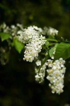Free Blossom Bird Cherry Trees In Park. Stock Photos - 19496383