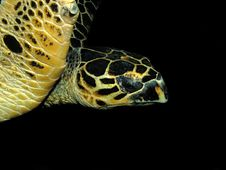 Free Hawksbill Turtle Royalty Free Stock Photography - 19496687