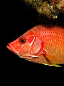 Longjawed Squirrelfish Stock Images