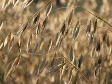 A Sprig Of Golden Oats Royalty Free Stock Photo
