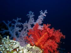Free Coral Stock Image - 19497681
