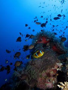 Free Red Sea Anemonefish Stock Photo - 19497700
