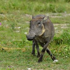 African Warthog Royalty Free Stock Photography