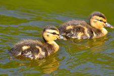 Free Ducks Stock Photo - 19497870