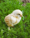 Free Yellow Chick On Green Grass Stock Photos - 1952523