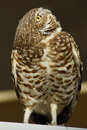 Free Burrowing Owl Royalty Free Stock Images - 1953549