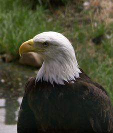 Free Eagle Stock Photography - 1950212