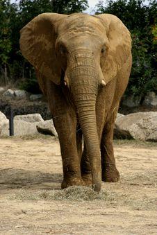 Free African Elephant Royalty Free Stock Image - 1950336