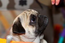Pug With Fingers Royalty Free Stock Image