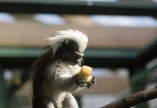 Free Monkey With Banana Stock Photo - 1952400