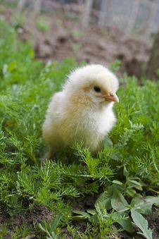 Free Yellow Chick On Green Grass Close-up Stock Image - 1952531