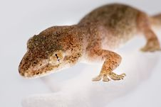 Free Portrait Of A Gecko Royalty Free Stock Photography - 1954697