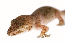 Free Portrait Of A Gecko Stock Images - 1954704
