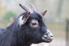 A Black Goat Stock Images