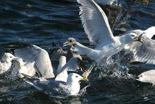 Free Seagulls Stock Photo - 1957560