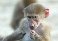 Free Baby Monkey Stock Photos - 1957623