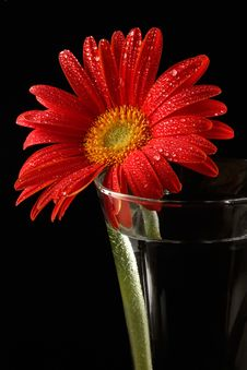 Free Red Gerbera In Drops Of Water Royalty Free Stock Image - 1958406