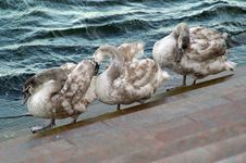 Free Three Swans In Line Stock Photography - 1958462