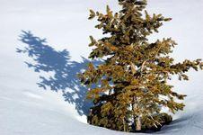 Free Pine Snow Stock Image - 1958801