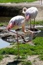Free Flamingos Royalty Free Stock Photography - 19508287