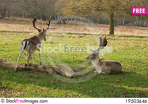 Fawns Stock Photo