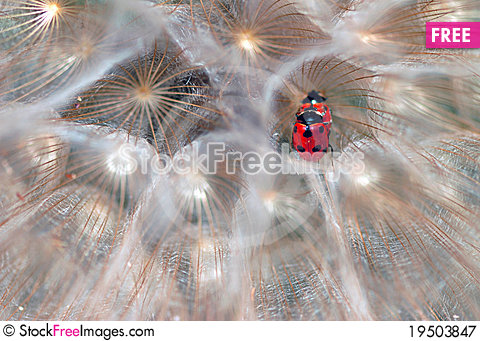 Free Ladybirds Royalty Free Stock Photography - 19503847